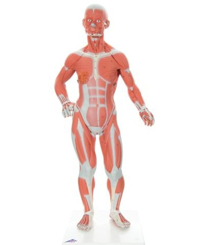 [3B] 2분리 미니 전신근육모형 B59 (Muscle Figure,2-part,1/4 Life-Size)