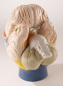 [독일Zimmer]신경해부학적 뇌모형/C75/Neuro-Anatomical Brain, 4-part, 2 times life size