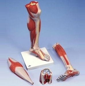 [3B]3분리 고급 다리근육모형/M22,Deluxe Lower Muscle Leg with Knee,3-part