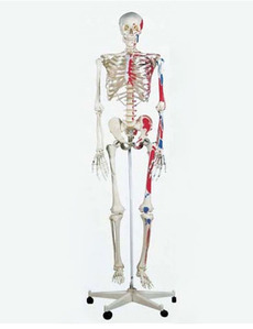 [3B]전신골격모형 (근종표시,170cm),A11,Classic Skeleton Max,on 5-feet roller stand