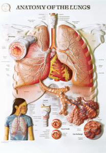 3D해부도(벽걸이)/BS103RR/폐해부도,폐차트/Anatomy of The Lungs/54cmx74cm